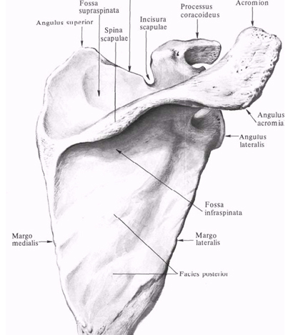 fájdalom a kis ujj metacarpalis phalangeális ízületében)