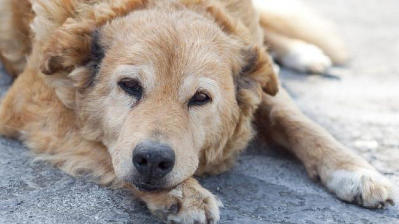 A kutyák izületi gyulladásának kezelése és a fájdalom megszüntetése - Betegség, gyógyítás