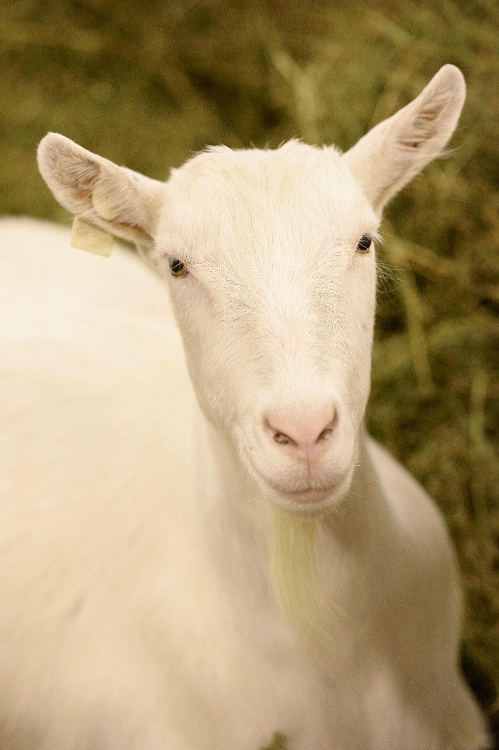kecske ízületi fájdalma kecskében)