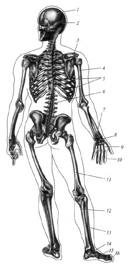 A lábcsontok kötései