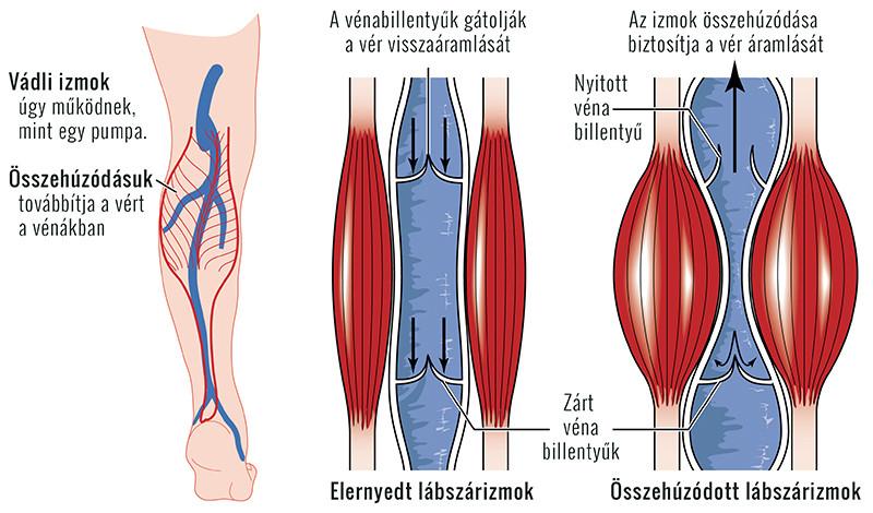a vénák és az ízületek lábainak betegségei)