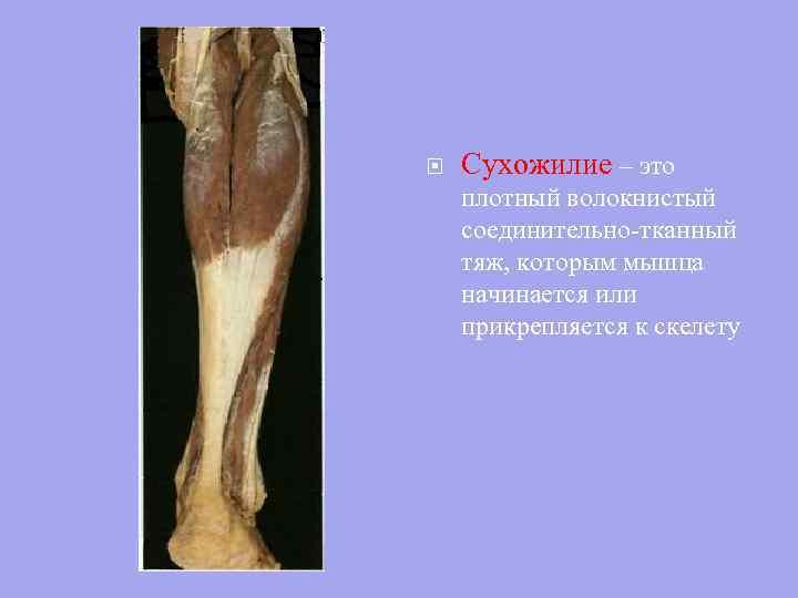 kötőszövet által alkotott inak és porc)