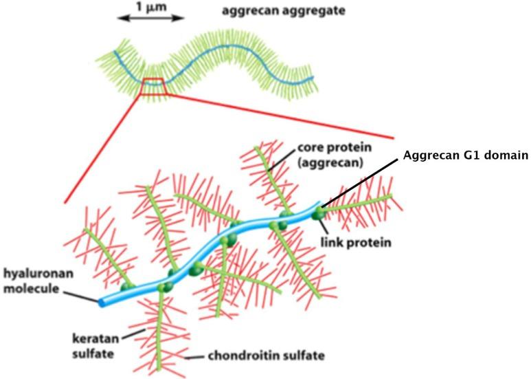 glükózamin-kondroitin mi ez