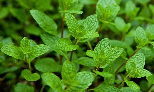 Gyógynövények az intim gondokra