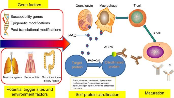 rheumatoid arthritis ízületi károsodás sebész szombathely