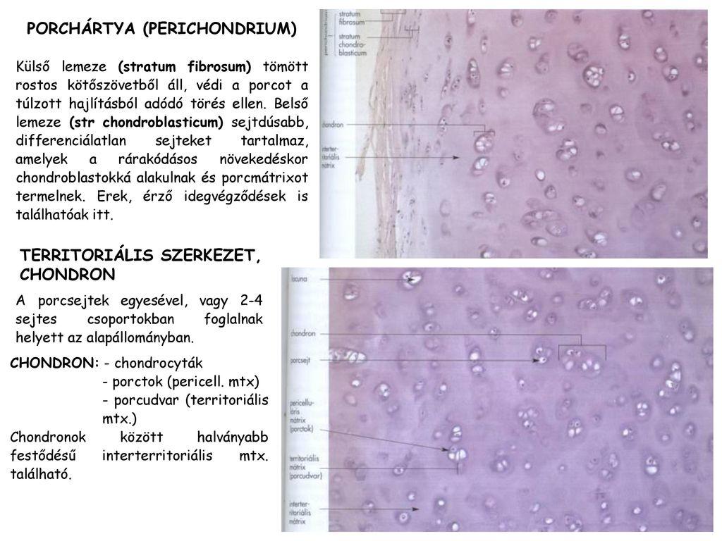 Hogyan néz ki a porcos kötőszövet Funkcionális anatómia I. | Digitális Tankönyvtár