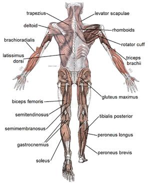 az ízületek és a kar izmai fájnak a csontokról a hát és az ízületek zhabkin kezelése