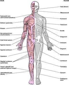 csontok és ízületek gyulladásos betegségei)